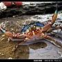 鈍齒短槳蟹_09.jpg