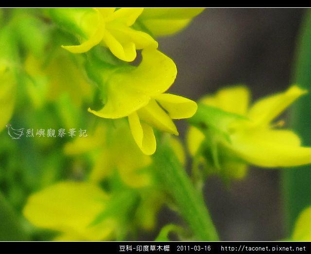 豆科-印度草木樨_05.jpg