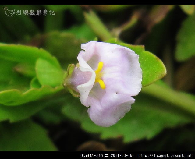 玄參科-泥花草N_10.jpg