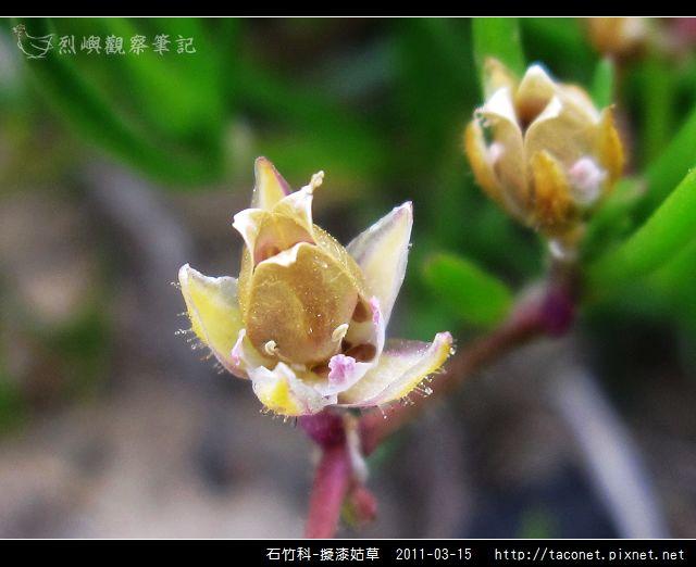 石竹科-擬漆姑草_12.jpg