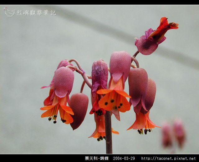 景天科-錦蝶_08.jpg