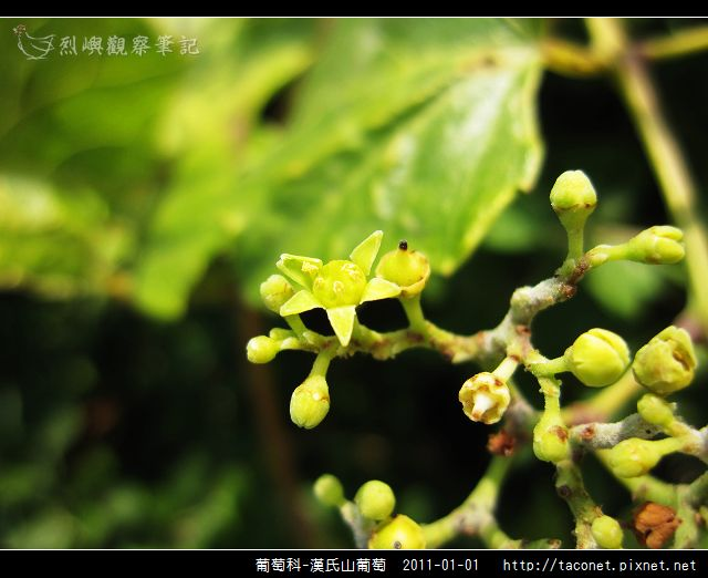 葡萄科-漢氏山葡萄_14.jpg