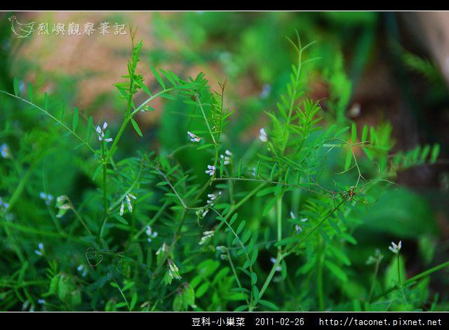 豆科-小巢菜_01.jpg