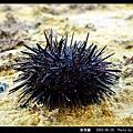 紫海膽_07.jpg