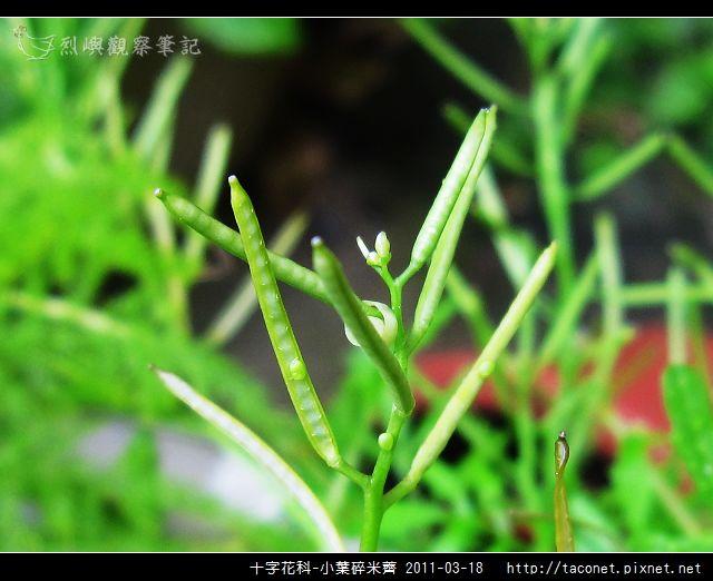 十字花科-小葉碎米薺_12.jpg