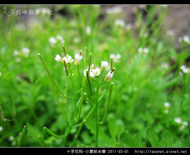 十字花科-小葉碎米薺_08.jpg