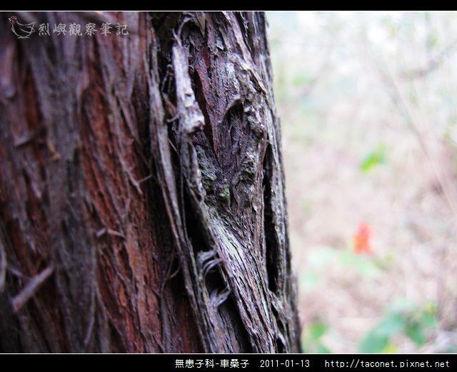無患子科-車桑子_11.jpg