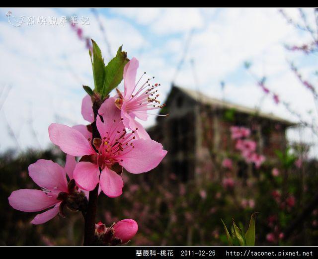薔薇科-桃花_23.jpg