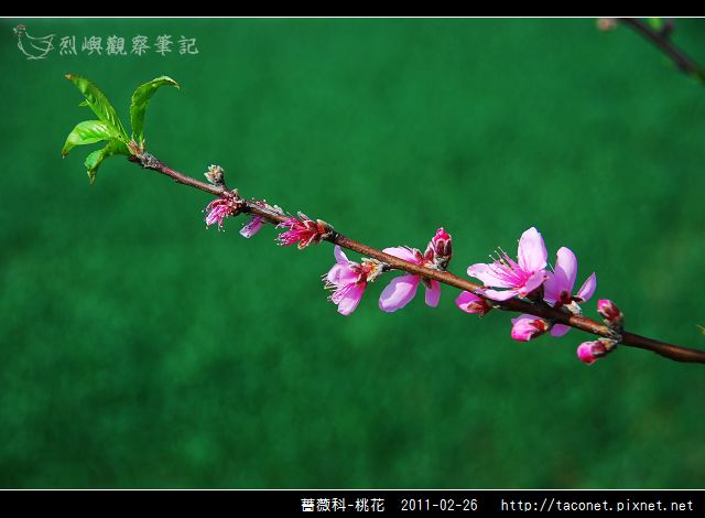 薔薇科-桃花_09.jpg