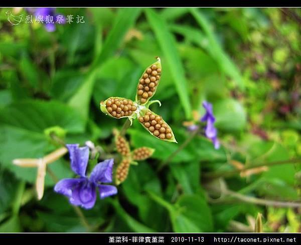 堇菜科-菲律賓堇菜_02.jpg