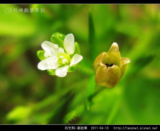 石竹科-漆姑草_08.jpg