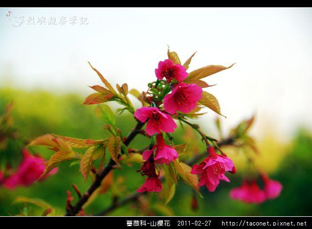 薔薇科-山櫻花_13.jpg