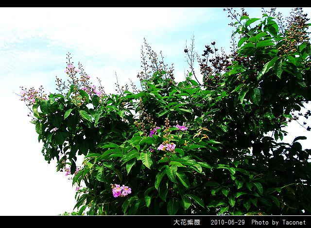 大花紫薇_16.jpg