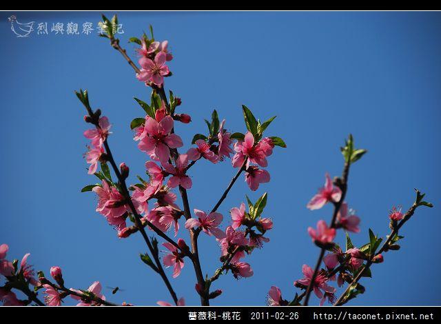 薔薇科-桃花_16.jpg