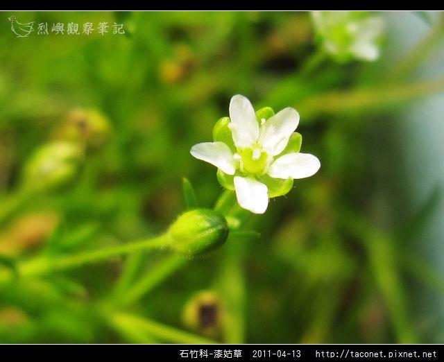 石竹科-漆姑草_12.jpg