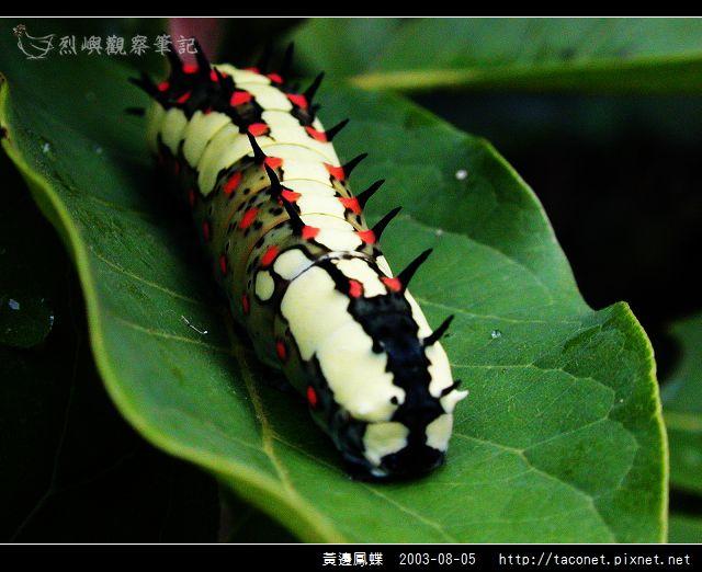 黃邊鳳蝶_03.jpg