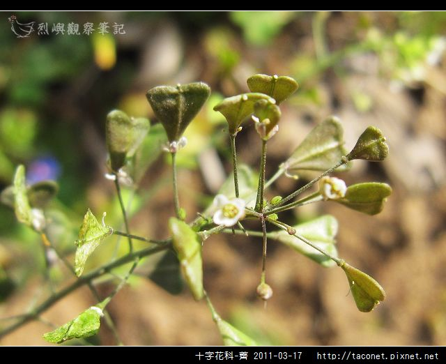 十字花科-薺_15.jpg