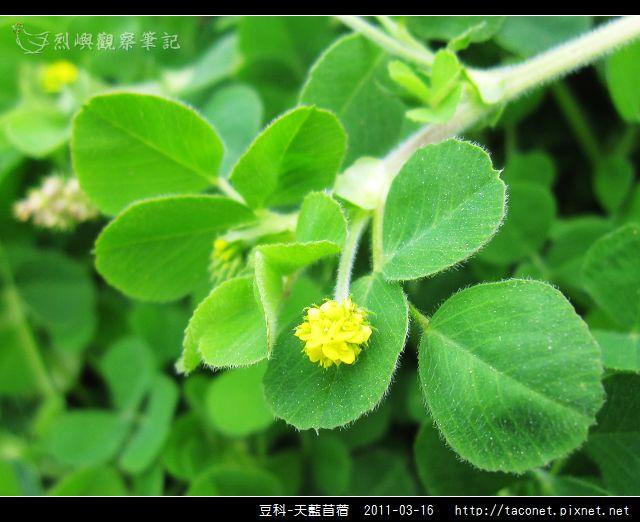 豆科-天藍苜蓿_16.jpg