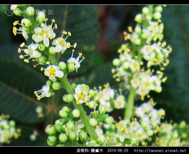 漆樹科-鹽膚木_09.jpg