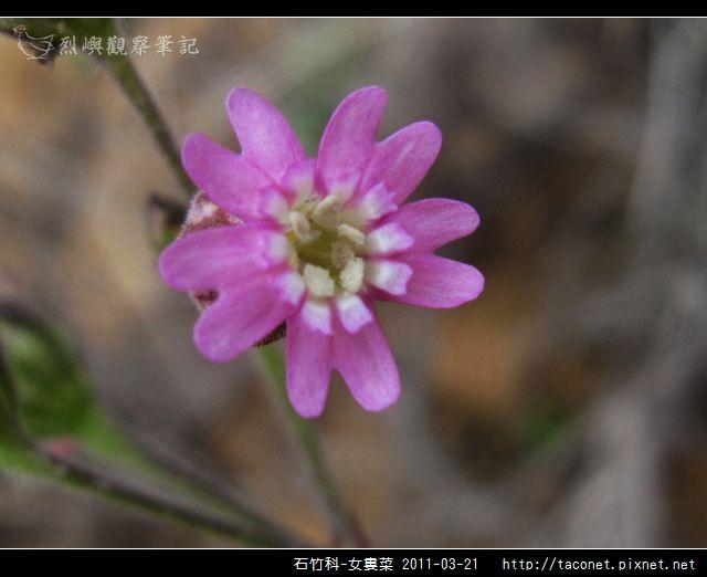 石竹科-女婁菜_13.jpg
