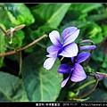 堇菜科-菲律賓堇菜_06.jpg