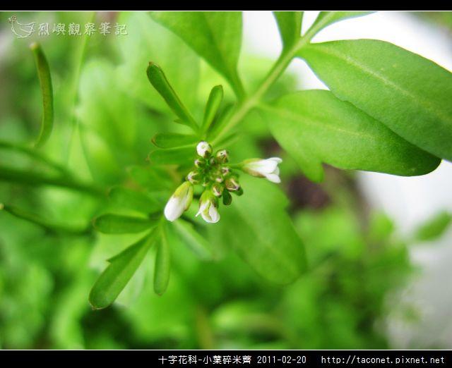 十字花科-小葉碎米薺_03.jpg