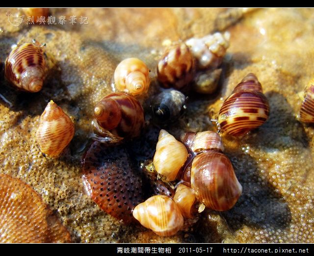 潮間帶生物_46.jpg