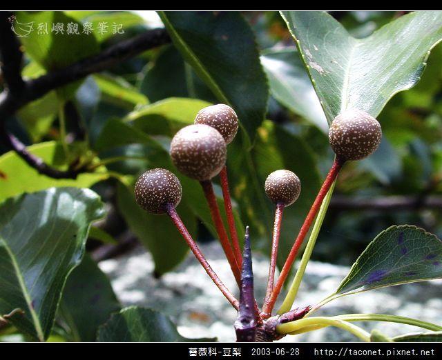 薔薇科-豆梨_10.jpg