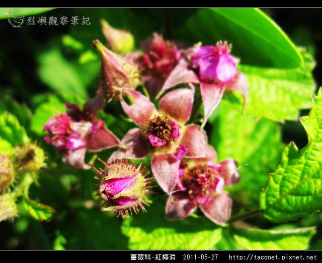 薔薇科-紅梅消_13.jpg