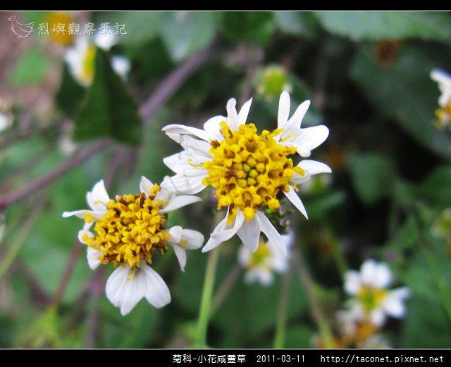 菊科-小花咸豐草_04.jpg