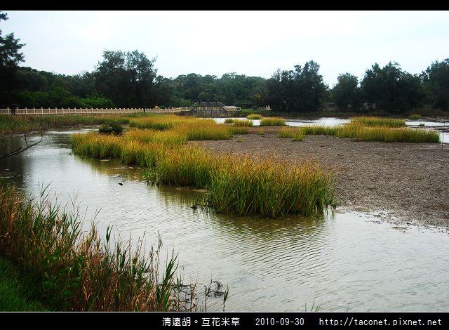 互花米草在清遠湖_06.jpg