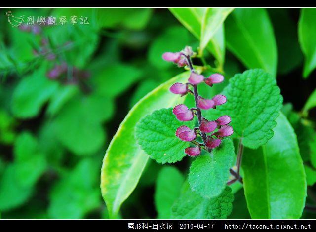 唇形科-耳挖花_07.jpg