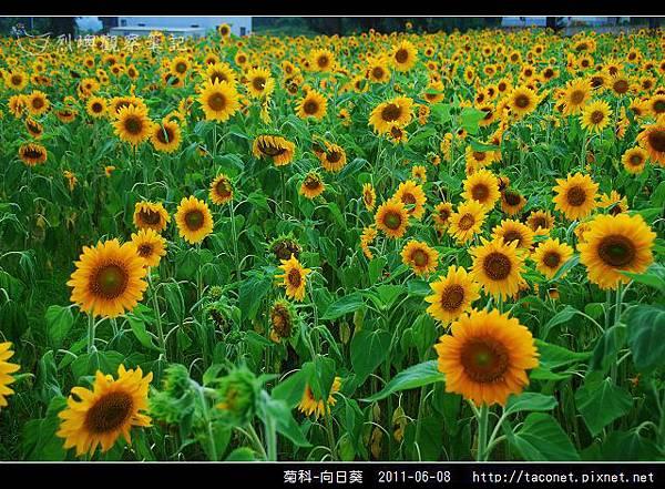 菊科-向日葵_18.jpg