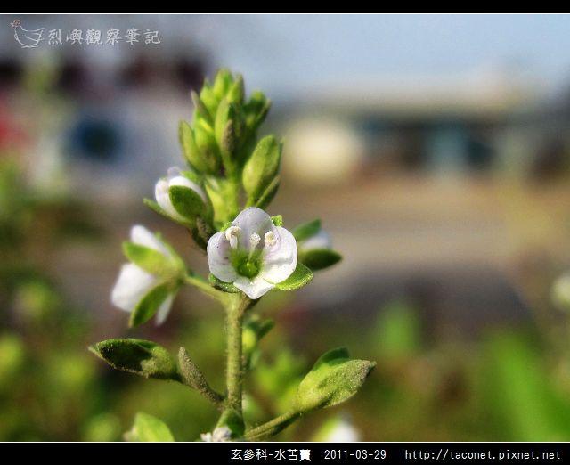 玄參科-水苦藚_02.jpg
