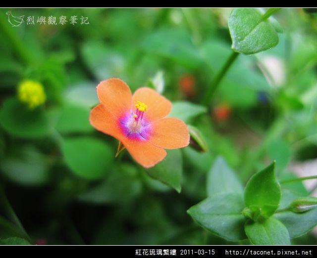紅花琉璃繁縷-10.jpg