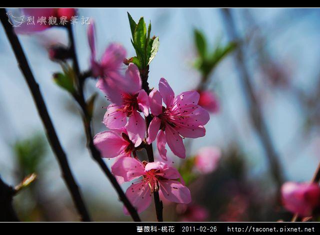薔薇科-桃花_18.jpg