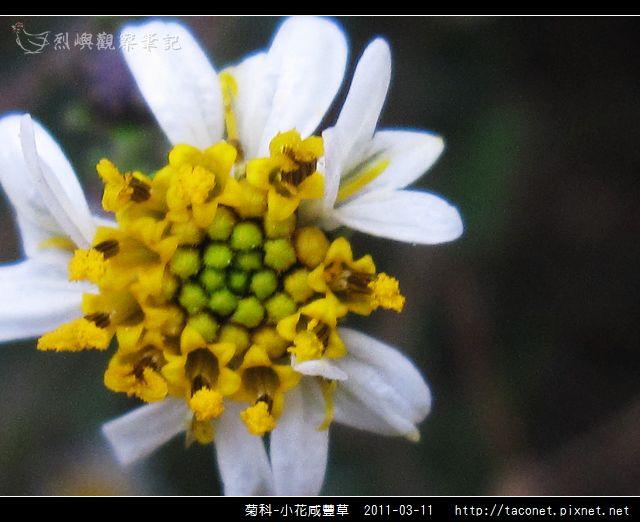菊科-小花咸豐草_09.jpg
