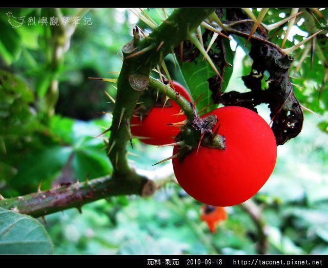 茄科-刺茄_09.jpg