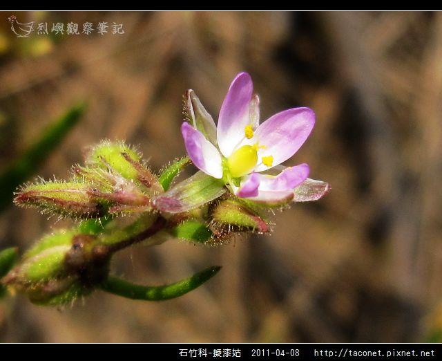 石竹科-擬漆姑_12.jpg