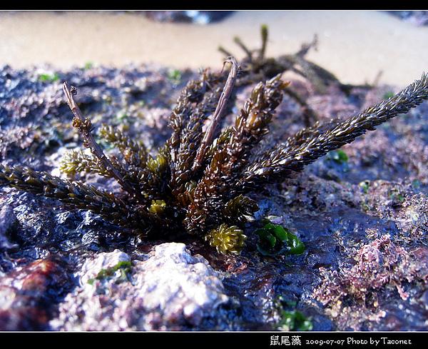 鼠尾藻_05.jpg