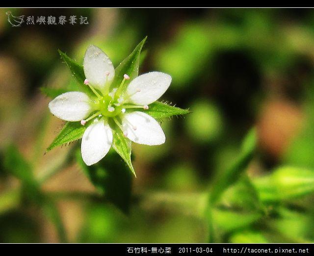 石竹科-無心菜_12.jpg