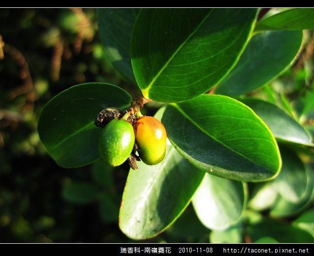 瑞香科-南嶺蕘花_07.jpg