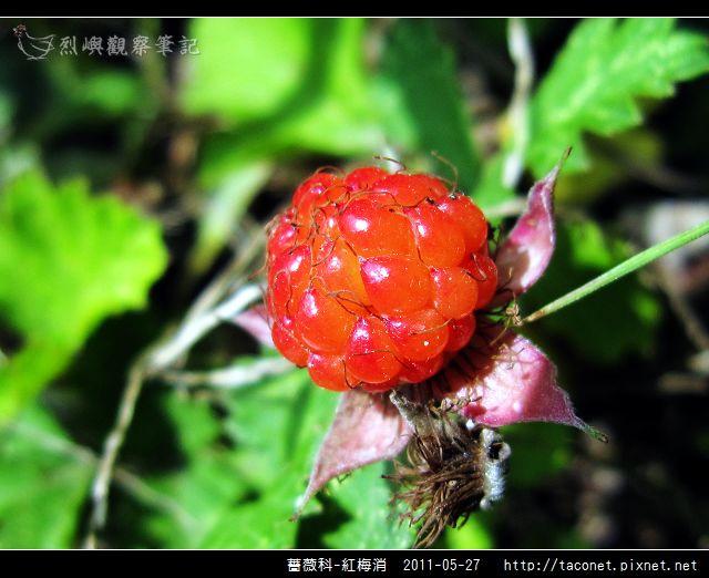 薔薇科-紅梅消_15.jpg
