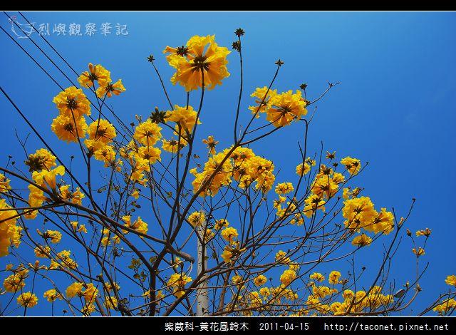 紫葳科-黃花風鈴木_15.jpg