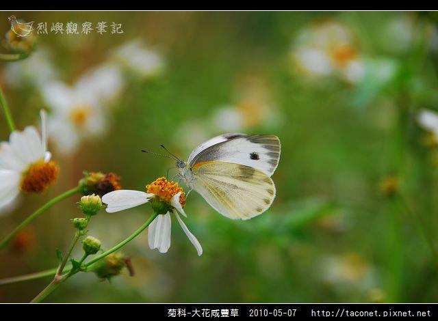 菊科-大花咸豐草_11.jpg