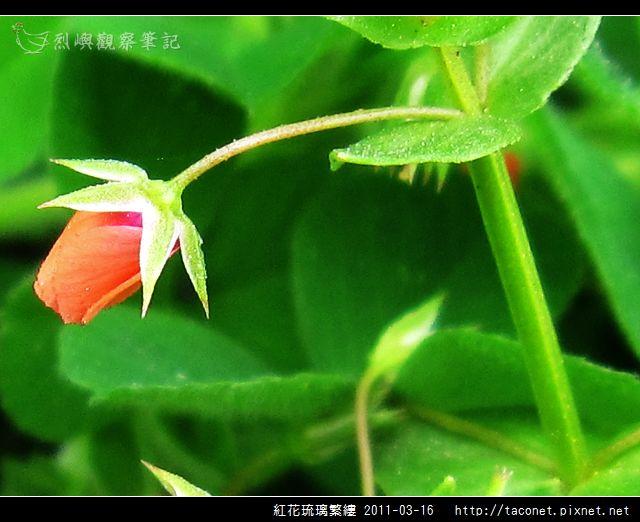 紅花琉璃繁縷-15.jpg