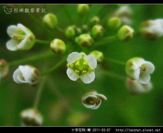 十字花科-薺_14.jpg