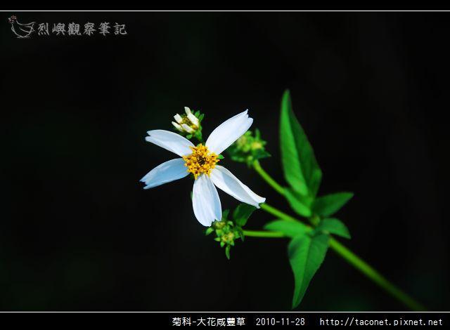 菊科-大花咸豐草_06.jpg