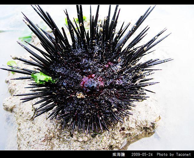 紫海膽_09.jpg