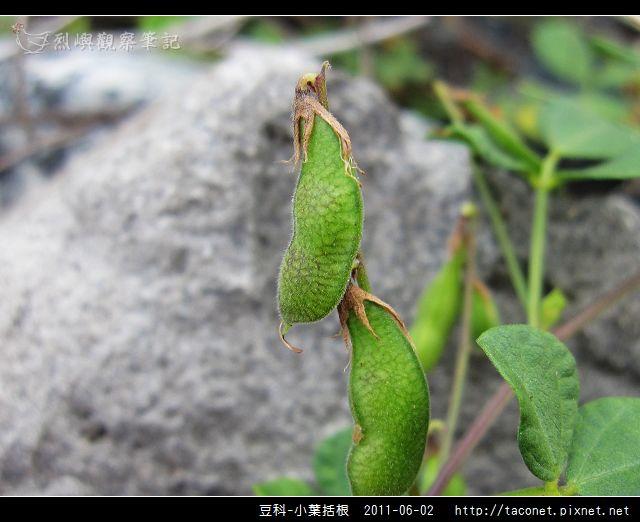 豆科-小葉括根_07.jpg